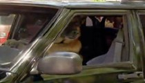 Bu köpek araba kullanıyor!...
