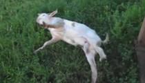 Ölü taklidi yapan keçi!
