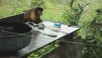 Çamaşır yıkayan maymun!