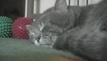 Taklitçi kedi