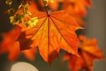 Çınar yaprağı çayını keşfedin!