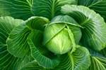 Bağırsağın ilacı lahana çayı