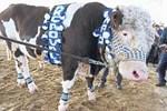 'En güzel sığır' seçildi
