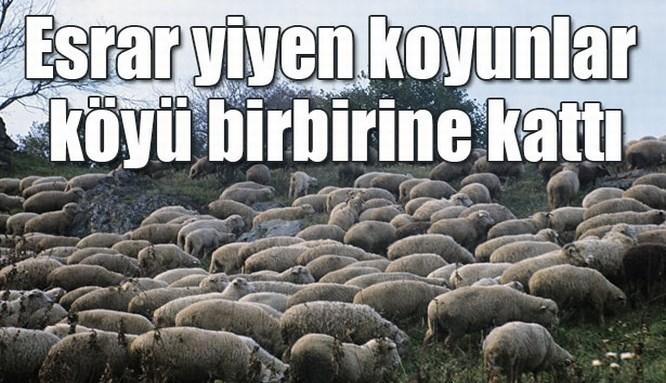 Esrar yiyen koyun sürüsü köyü birbirine kattı!