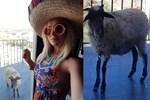 Cicişler kurbanlık koyunla tatile gitti!