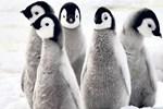 Binlerce penguen kıtlık kurbanı