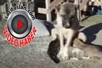 Kangal köpeği annesi ölen kediye annelik yapıyor