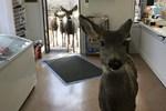 Çikolata verilen geyik ailesini de getirdi!