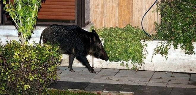 Yaban domuzları şehir çöplüğünde!