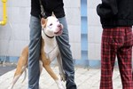 Pitbull köpeği, mahkemede silah olarak sayıldı!