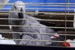 Murat Özdemir'in işkence ettiği papağan ameliyata alınacak