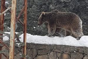 Yiyecek arayan yavru ayıya yakın ilgi