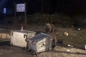 Uludağ'da aç kalan ayılar yiyecek aradı