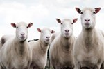 '300 koyun projesi' için başvurular başladı!