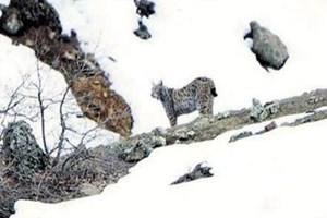 Tunceli'de vaşak görüntülendi