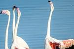 İzmir'de flamingoların dansına yoğun ilgi