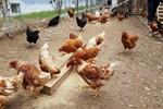 Kanser uzmanı Dizdar'dan kritik 'tavuk' uyarısı!