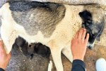 Köpek, tilki yavrularını emziriyor