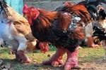 802 adet ejderha tavuğu yumurtası yakalandı!..
