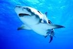 Köpekbalığı avcılığı yasaklandı