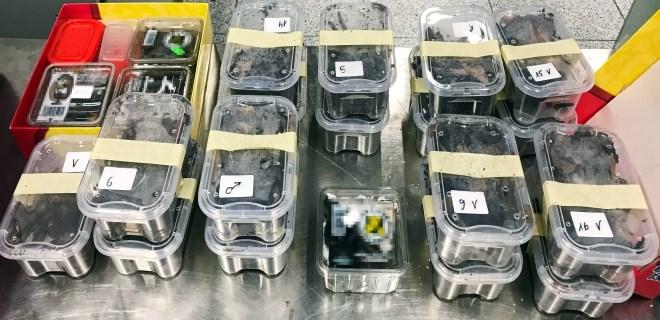 Yolcunun bagajından 22 adet tarantula çıktı!