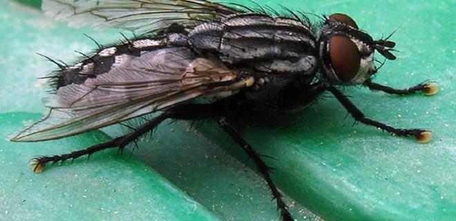 Parfümünüz sinekleri, böcekleri çağırmasın!..