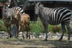 Bursa'da bir haftalık zebra yavrusu ilgi çekiyor