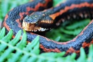 2 metre boyundaki yılanın sırrı belli oldu