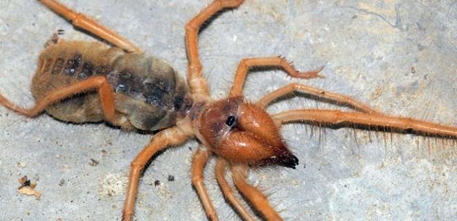 'Et yiyen örümcek' paniği Sivas'a sıçradı!