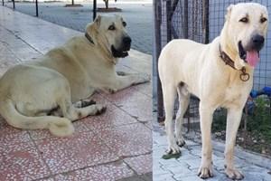 Bu köpeği bulana Antalya'da bir hafta tatil