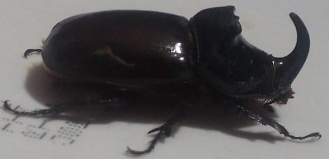 Ağrı'da gergedan böceği bulundu