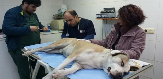Fatih'te tacize uğrayan sokak köpeği koruma altına alındı