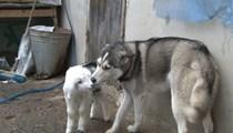 Sibirya kurdu ile yavru keçinin dostluğu
