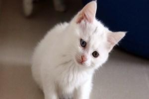 Van kedilerinin kalitesi her yıl artıyor