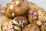 Dikkat!..  Filizlenen patates öldürebilir!