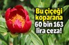 Afyonkarahisar'ın Kızılören ilçesi Kisra Vadisi'nde 'Ayı Gülü' ve 'Kızıl Lale' olarak bilinen...