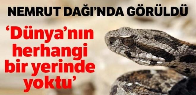 Nesli tehlikede olan yılan Nemrut Dağı'nda görüldü